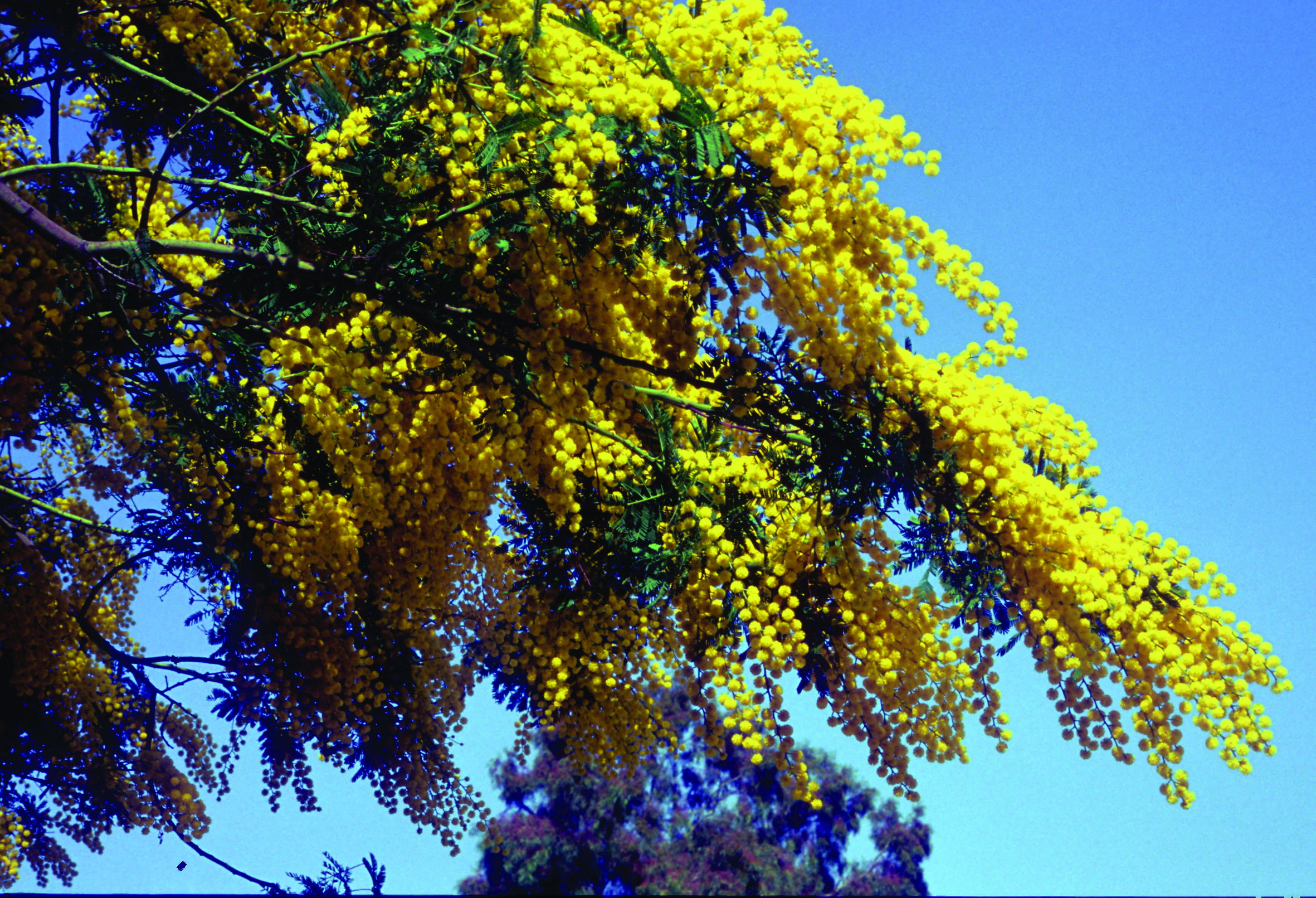 Acacia Parte 2 Catalogo Margheriti