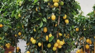 AGRUMI / CITRUS FRUITS / AGRUMES