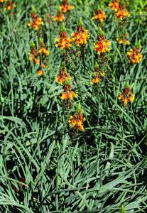 asphodelaceae
